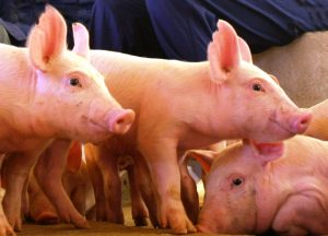 Exportações de suíno caem, mas mercado interno reage