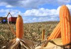 milho-espiga-colheita-(10)