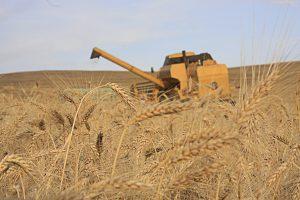 trigo colheita_100