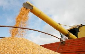 milho colheita lavoura espiga (19)