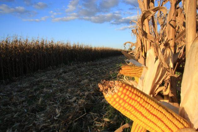 colheita milho espiga tibagi por do sol (7)