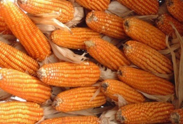 milho colheita lavoura espiga (42)