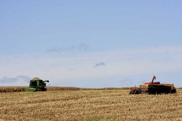 milho-colheita-lavoura-espiga-(5)