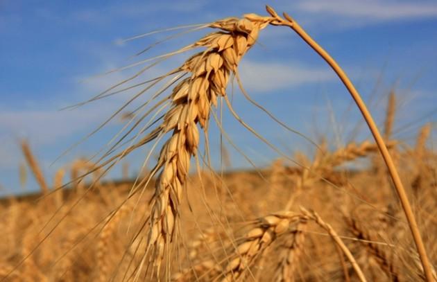 trigo colheita_062