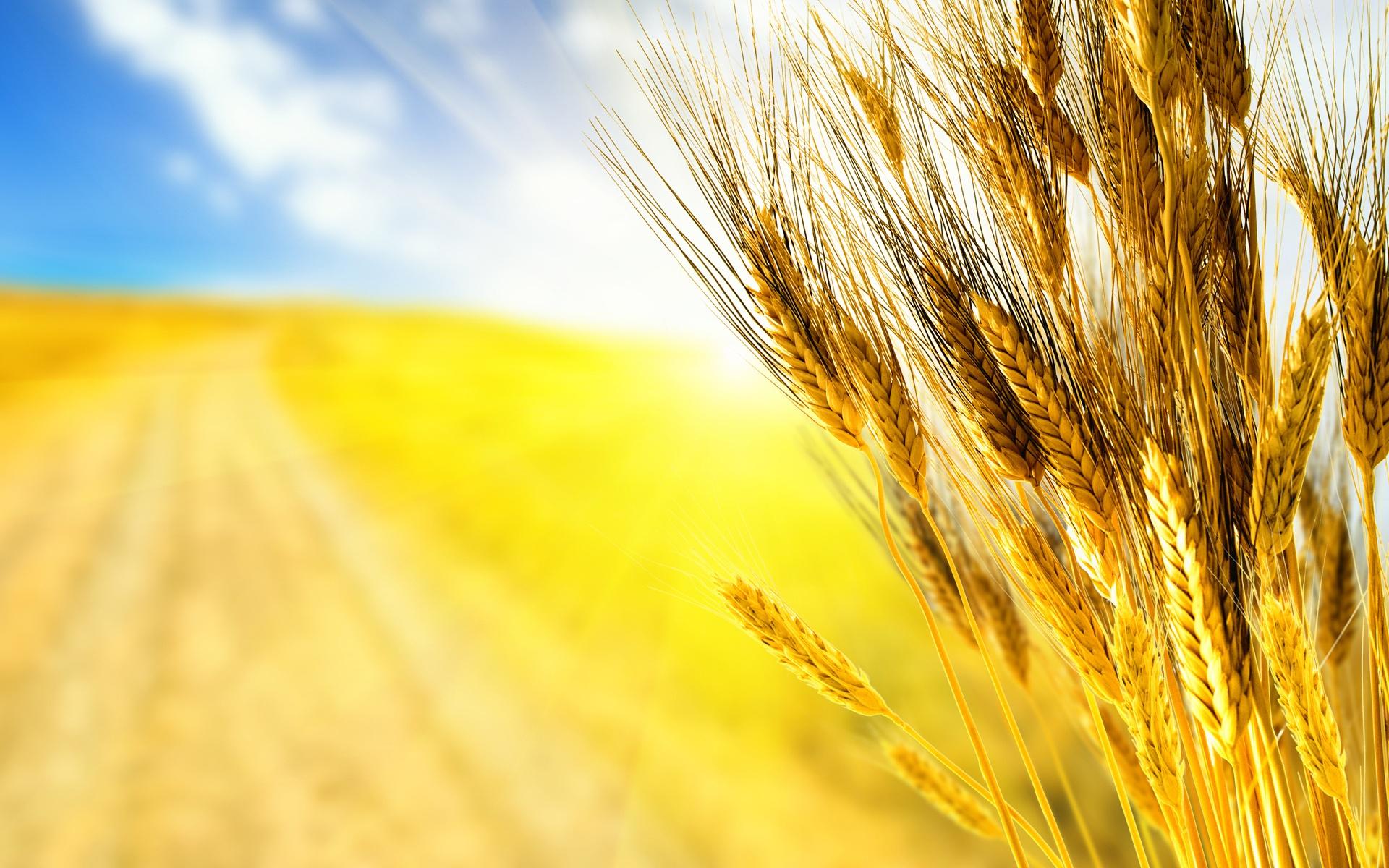 Resultado de imagem para ramos de trigo