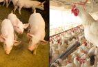 suinos e frangos2