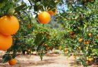 laranjas_campo